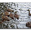 Young Geese by Brian Wallace