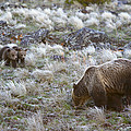 Young Grizzly Cubs Play As Their Mother by Drew Rush