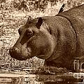 Young Hippo by Mareko Marciniak