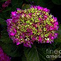 Young Hydrangea by Dale   Ford