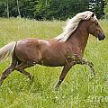 Young Icelandic Horse In A Trot by Kathleen Smith
