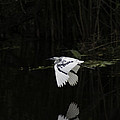 Young Little Blue Heron On The Loxahatchee River by Robert Valentine