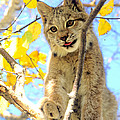 Young Lynx In A Tree by Larry Allan