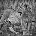 Young Male Lion by Babur Yakar