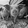 Young Pigs In A Snowy Pen. Property by Joel Sartore
