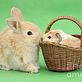 Young Rabbit With Baby Guinea Pig by Mark Taylor