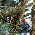 Young Red-bellied Woodpecker by Laurel Talabere