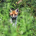Young Red Fox by Colin Varndell