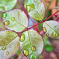 Young Rose Leaves by Tikvah's Hope