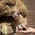 Young Sheep Are Hand Fed by Yali Shi