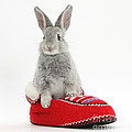 Young Silver Rabbit In A Knitted Slipper by Mark Taylor