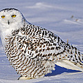 Young Snowy Owl by Tony Beck
