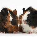 Young Tricolour Guinea Pigs by Mark Taylor