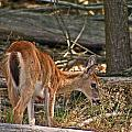 Young Whitetail by David Rucker