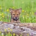 Young Wolf Cub Peering Over Log by John Pitcher