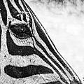 You've Got Zebra Eyes by Traci Cottingham