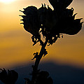 Yucca At Sunset by Ralf Kaiser