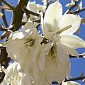 Yucca Flowers by Kume Bryant