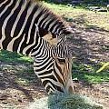 Zebra At Lunch by Mary Deal