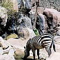 Zebra At Water Hole by Laura Roberson Chavez