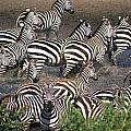 Zebra At Waterhole by Axiom Photographic