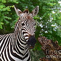 Zebra by Carol  Bradley