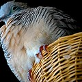 Zebra Dove From Above by DigiArt Diaries by Vicky B Fuller