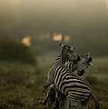 Zebra Equus Burchelli by Beverly Joubert