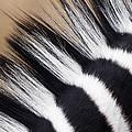 Zebra Equus Quagga Mane, Khama Rhino by Vincent Grafhorst