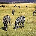 Zebra Grub by Darcy Michaelchuk