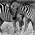 Zebra Hug 2 by Jack Daulton