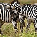 Zebra Hug by Jack Daulton