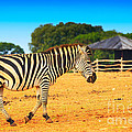 Zebra In The Grassland  by Nino Rasic