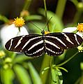 Zebra Longwing And Flowers by Kenneth Albin