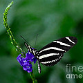 Zebra Longwing by Elaine Manley
