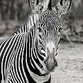 Zebra by Michael Peychich