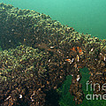 Zebra Mussels by Ted Kinsman