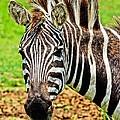 Zebra by Nick Zelinsky