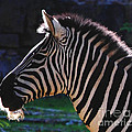 Zebra Profile by DiDi Higginbotham
