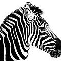 Zebra by Rebecca Margraf