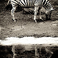 Zebra Reflection  by Steve McKinzie