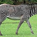 Zebra by Ruth Hallam