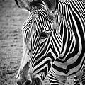 Zebra by Saija  Lehtonen