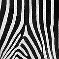Zebra Stripes by David Pringle