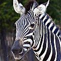 Zebra Symmetry  by Douglas Barnard