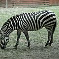 Zebra by Terrilee Walton-Smith
