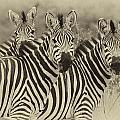 Zebra Trio by Jack Daulton