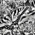 Zebra Wings by Michael Garyet