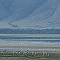 Zebras And Pink Flamingos, Ngorongoro by Skip Brown