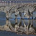 Zebras Drinking Ngorongoro Crater Tanzania by Boyd Norton